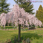 Japanese Weeping Cherry Blossom Tree