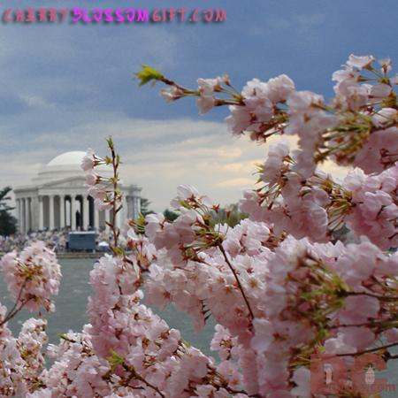 Cherry Blossom View of the Jefferson Memorial