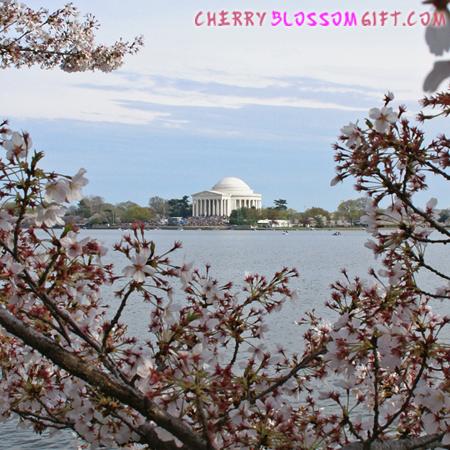 Jefferson Memorial Inside Jefferson Memorial Cherry