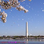 Washington Monument Cherry Blossoms Photograph