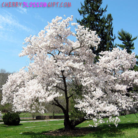 Live Yoshino Cherry Blossom Tree